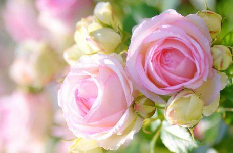 گئے موسم میں جو کھلتے تھے گلابوں کی طرح ۔ پروین شاکر ۔ شاعری